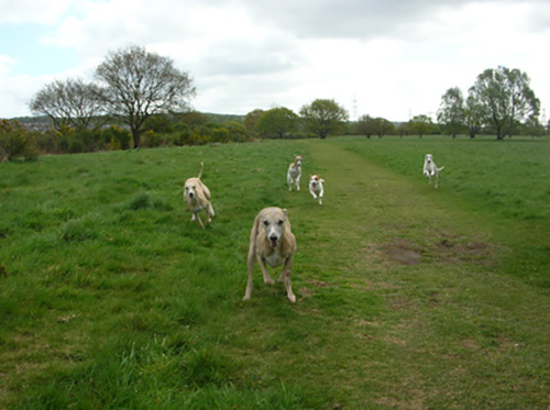 Whippet Pups For Sale Northumberland
