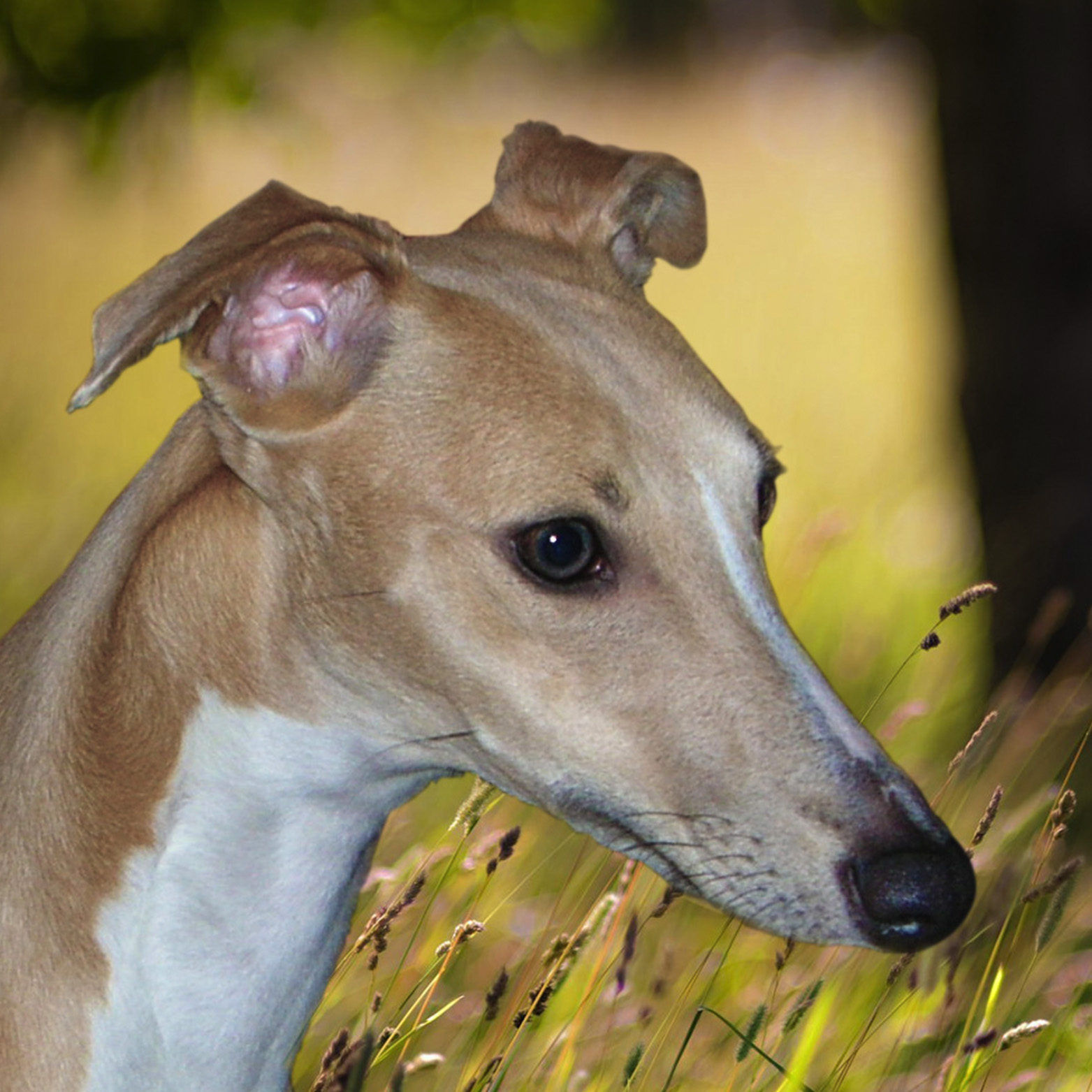 Whippet Puppies for Sale Northumberland