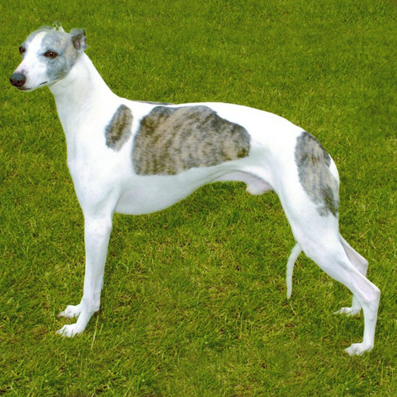 Whippets for sale Northumberland