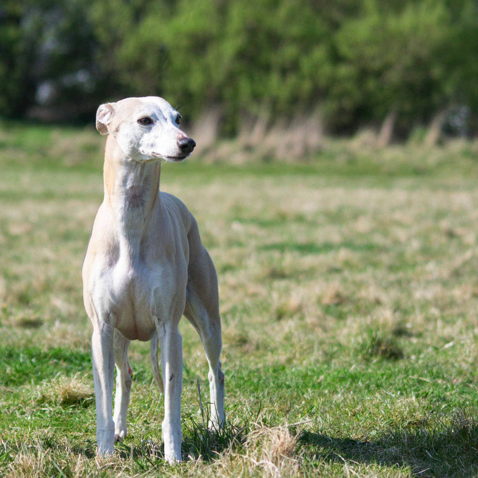 Whippet Puppy for sale Northumberland